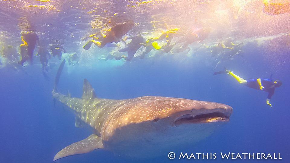 2015 Cozumel - Mathis Weatherall Whale Shark